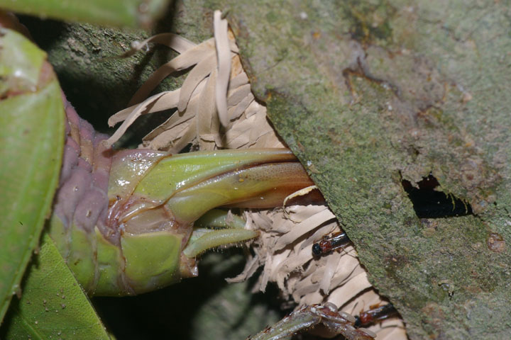 Close up shows parasitoid wasps attacking the katydid eggs. Photo by Claus Rasmussen.