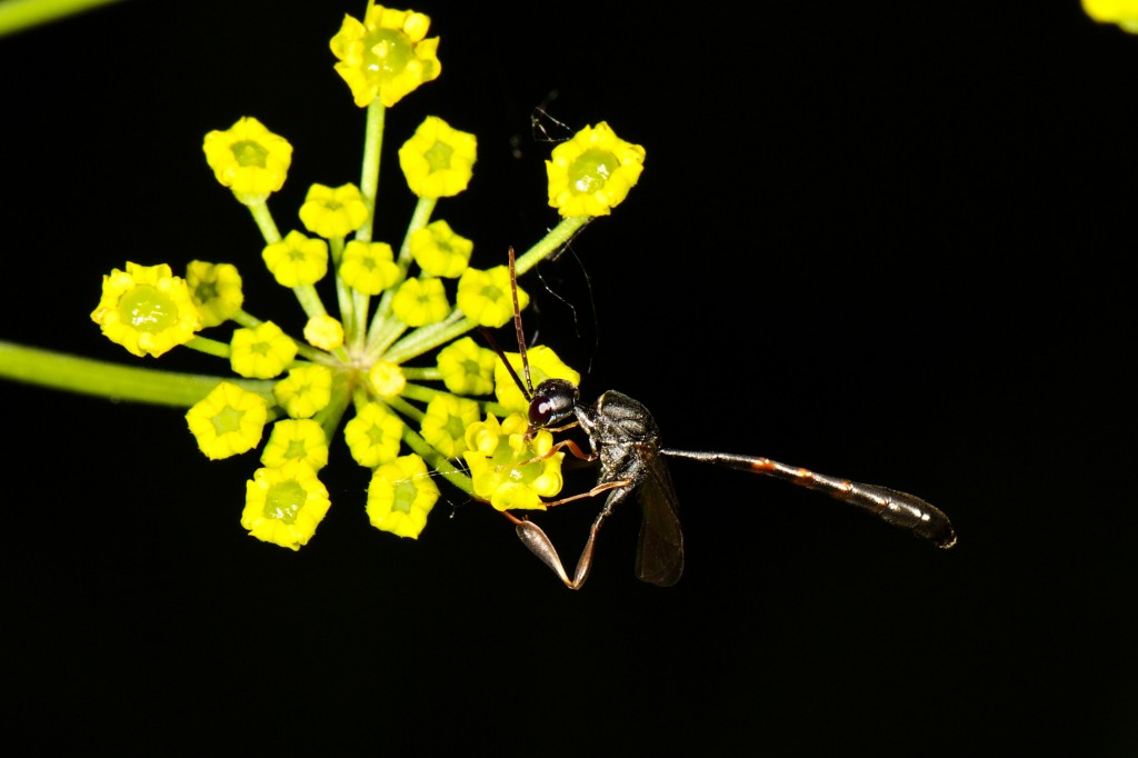 Male Gasteruption assectator (L.) foraging on Zizia aurea flowers