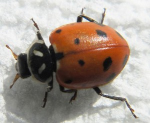 Convergent lady beetle.