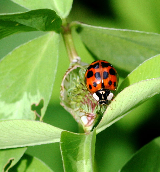 The Multicolored Asian Ladybeetle.