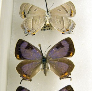 Specimens in the Parshall collection. Photo by L. Musetti.