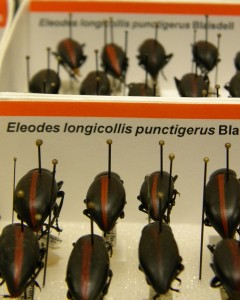 Newly curated specimens of the genus Eleodes (Tenebrionidae)
