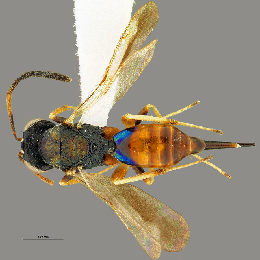 Lelaps sp., parasitoid wasp (Hymenoptera: Chalcidoidea: Pteromalidae) from the Amazon Basin, specimen ID = OSUC 45851; image by the author.