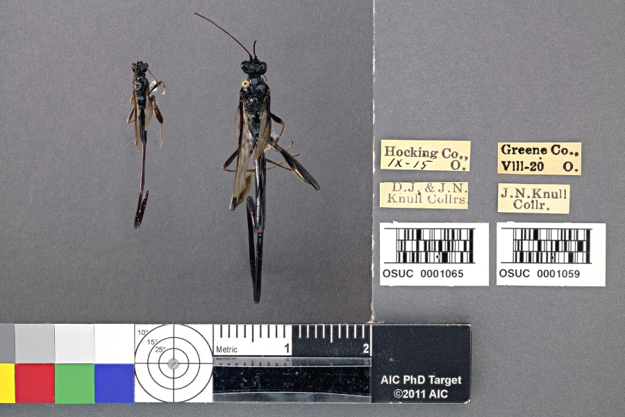 comparison image of P. polyturator females