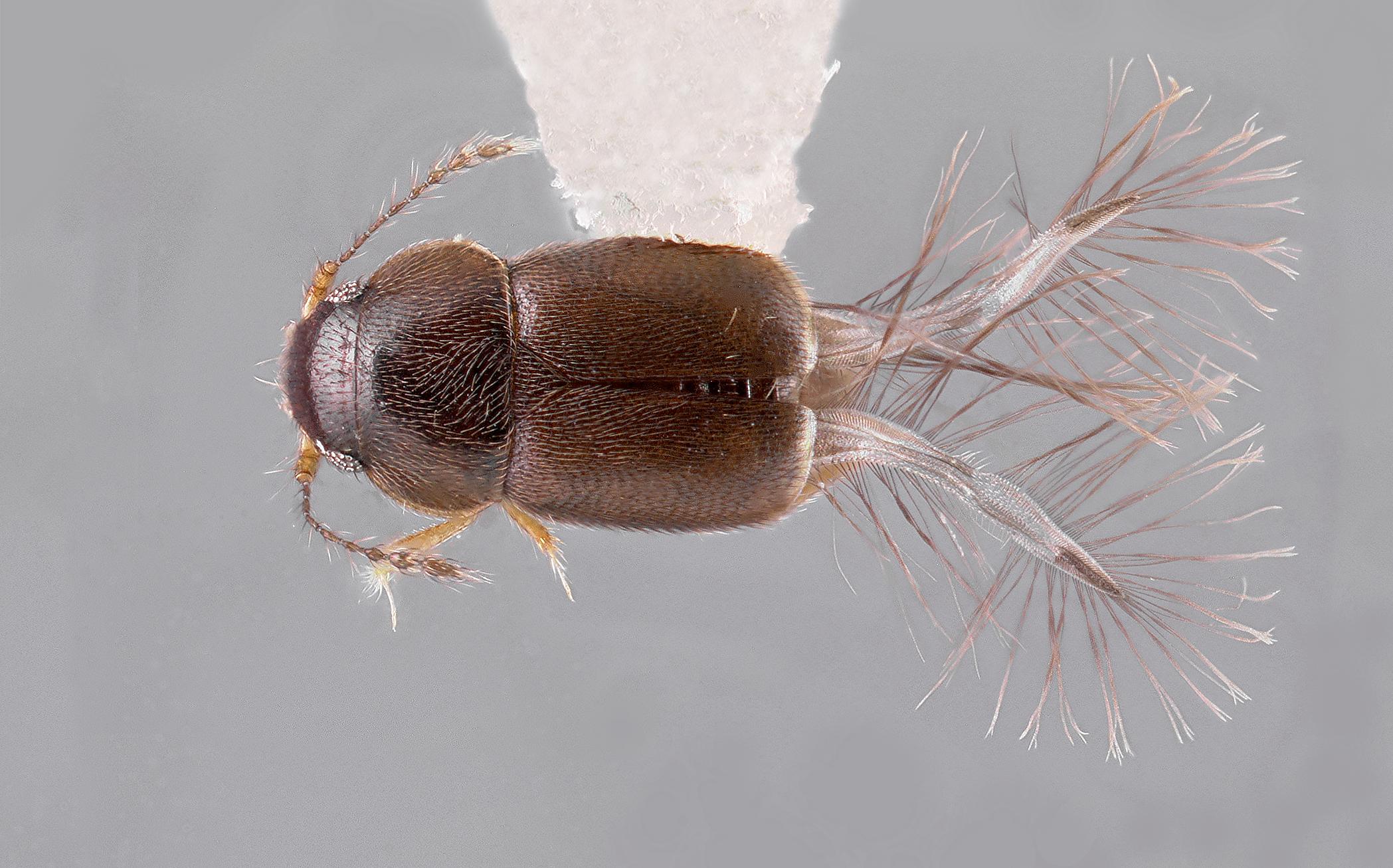 Featherwing beetle image work in progress.