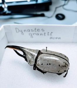 <em>Dynastes grantii</em> Horn specimen.