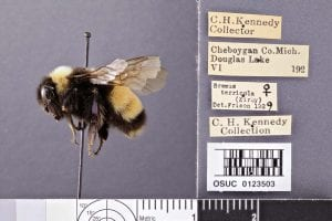 Example image of a rusty patch bumble bee.
