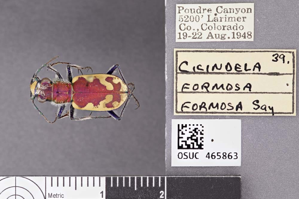 Example image of a tiger beetle.