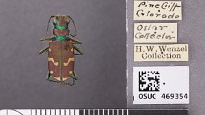 Common Claybank Tiger Beetle, Cicindella limbalis, from Colorado.