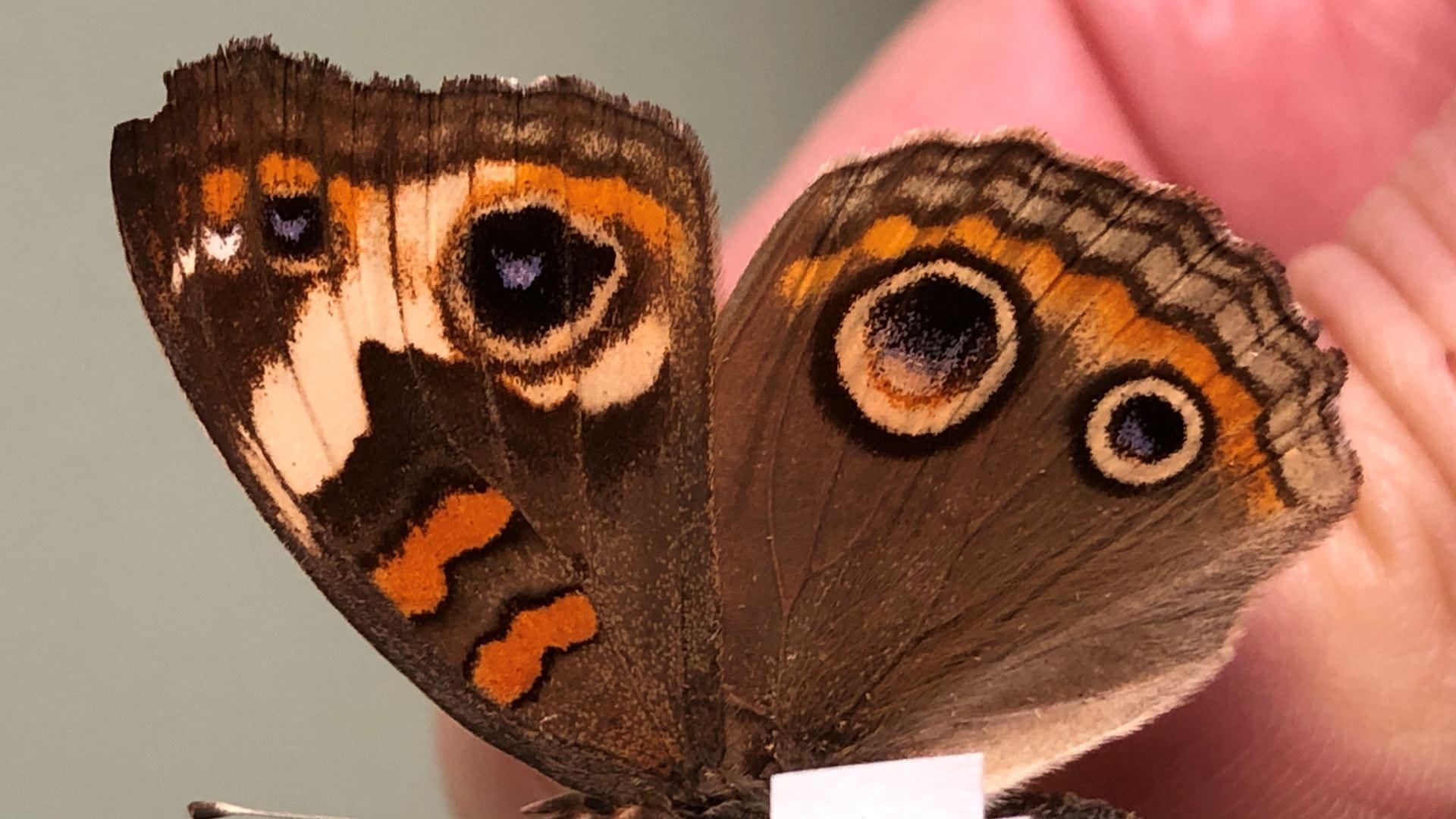 Butterfly specimens recently donated to the Triplehorn collection