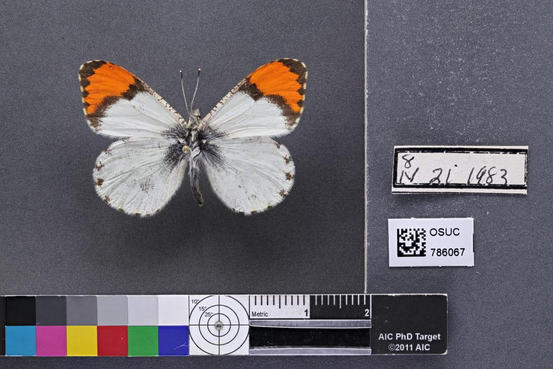 Photo of specimen OSUC 786067 dorsal