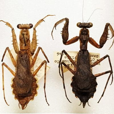 Mantid specimens in the collection
