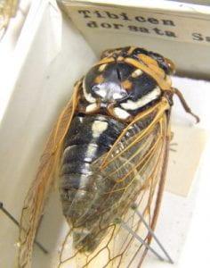 Neotibicen dorsata, collected in Texas