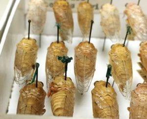 Okanagana gracilis collected in California