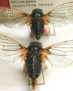 Okanagana vanduzeei, collected in California