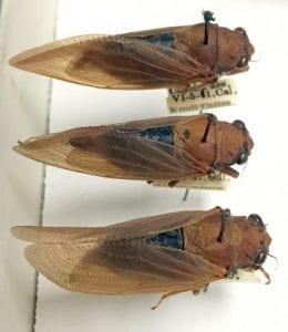 Okanagana opacipennis collected in California