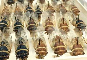 Diceroprocta apache collected in California & Arizona