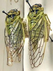 Okanagana nigriviridis from California