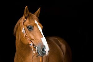 tan horse with white stripe on nose