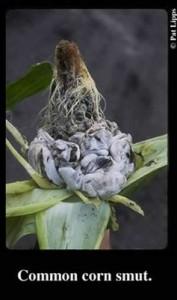 Source: P. Lipps, OSU Plant Pathology