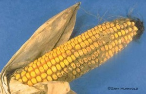 Source: Gary Munkvold, Iowa State University Plant Pathology