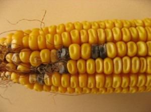 Source: A. Robertson,Iowa State University Plant Pathology Dark kernels scattered around the ear are symptoms of Cladosporium ear rot (http://www.extension.iastate.edu/CropNews/2009/1030robertsonmunkvold.htm)