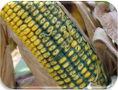 Source: DuPont Pioneer (https://www.pioneer.com/home/site/mobile/harvest/corn/ear-rots-uncommon/ )