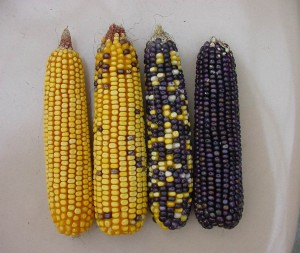 Ears of yellow dent corn ears (two on left) and blue color (two on right) two center ears from adjacent rows. Two outside ears from plants approx 40 row rows away from blue or yellow kernel plants. Source: P. Thomison, OSU