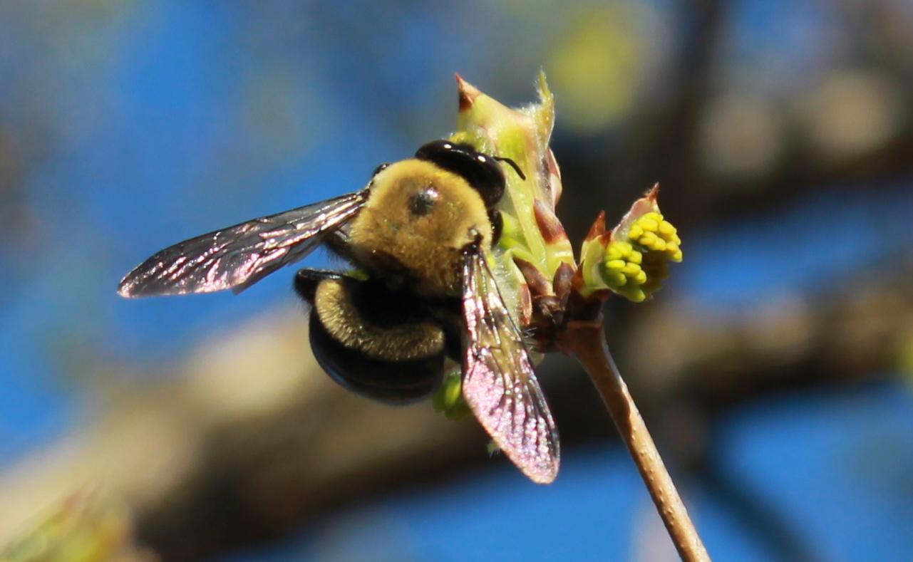 Carpenter bees - photo#41
