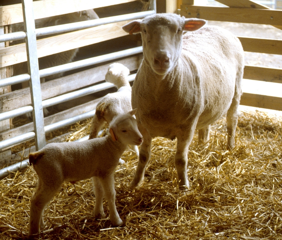 white-faced ewe with twin lambs