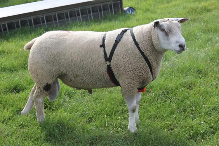 Ram Management | OSU Sheep Team