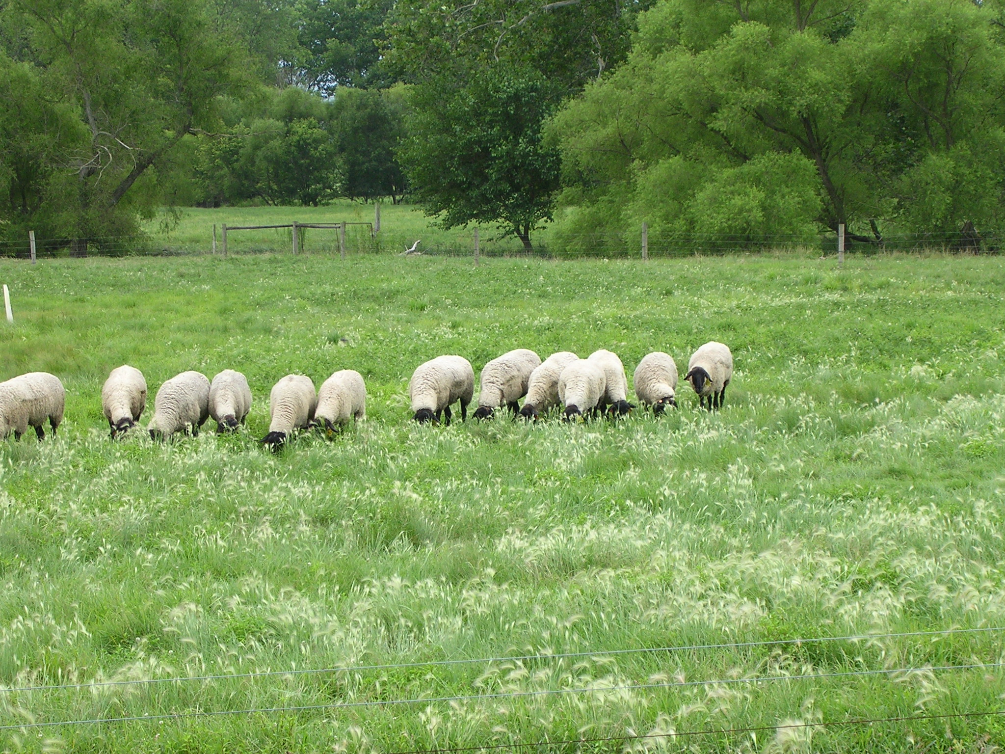 When Should Pastures be Mowed? | OSU Sheep Team