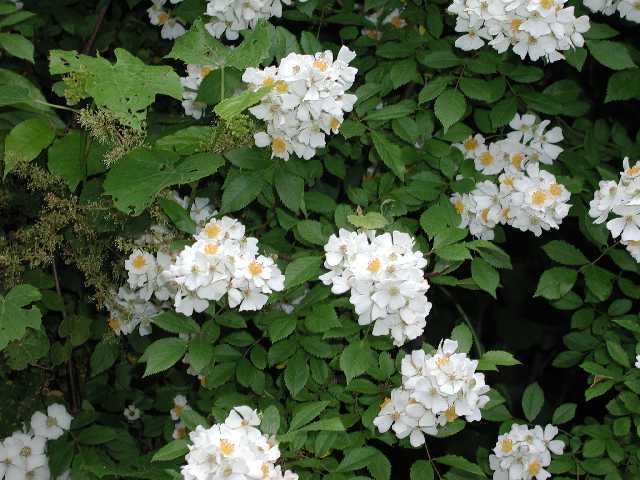 Multiflora Rose Problems in Pastures? Control it Now! | OSU Sheep Team