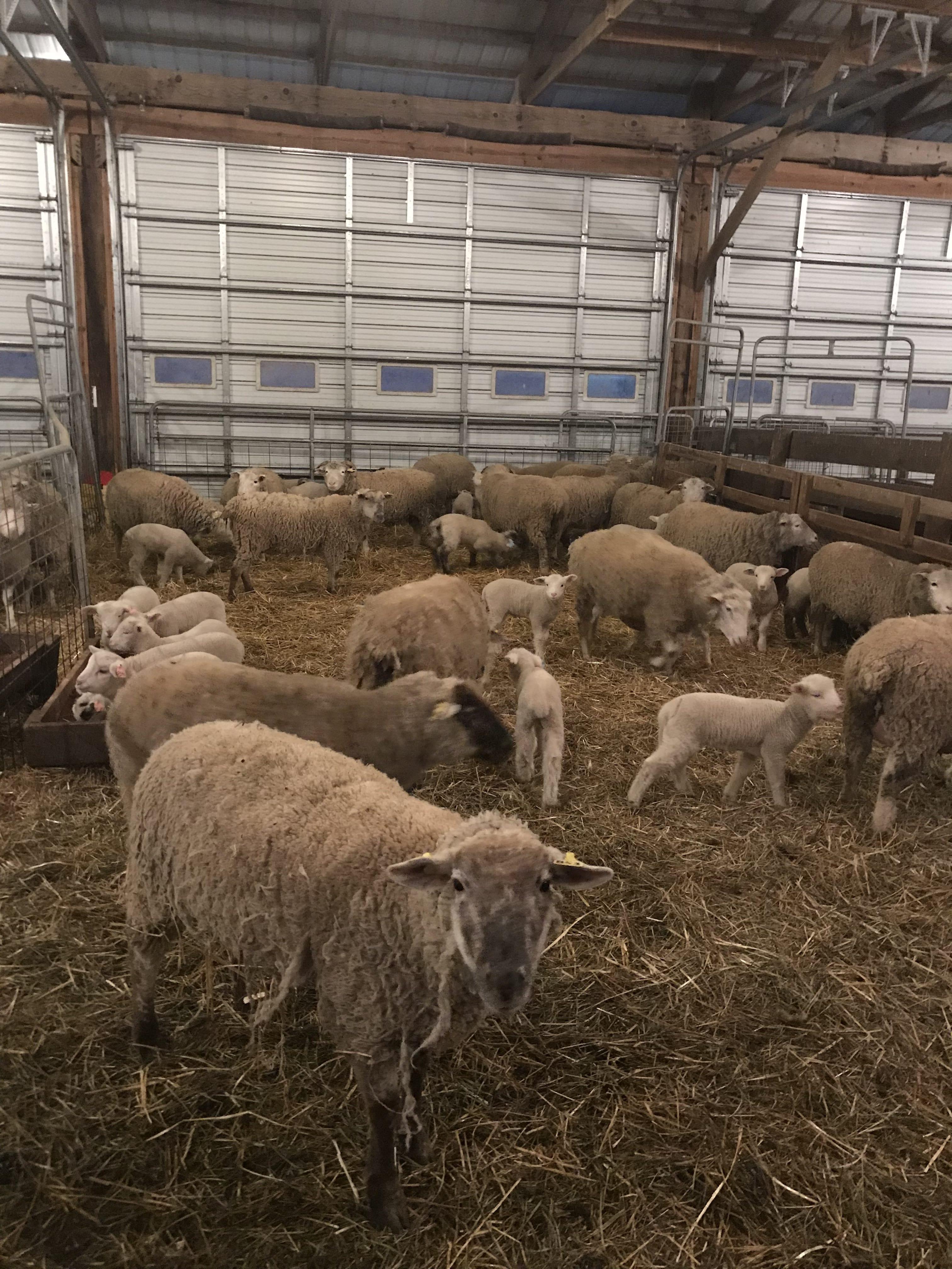 Nutrition | OSU Sheep Team