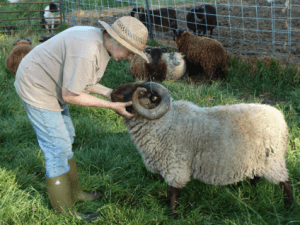 OSU Sheep Team | Supporting Ohio sheep producers by