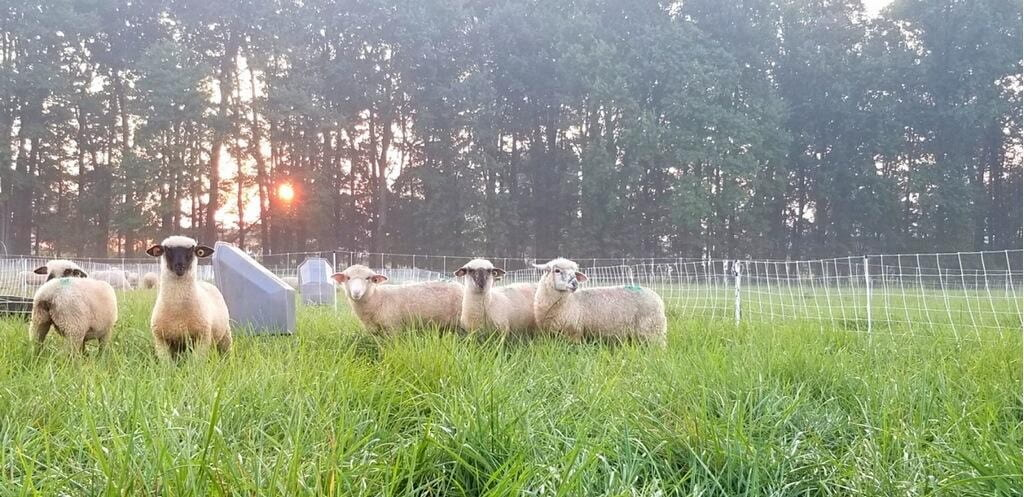 Traditional Graze or Hay With Clover Grass Seed For Grazing Sheep