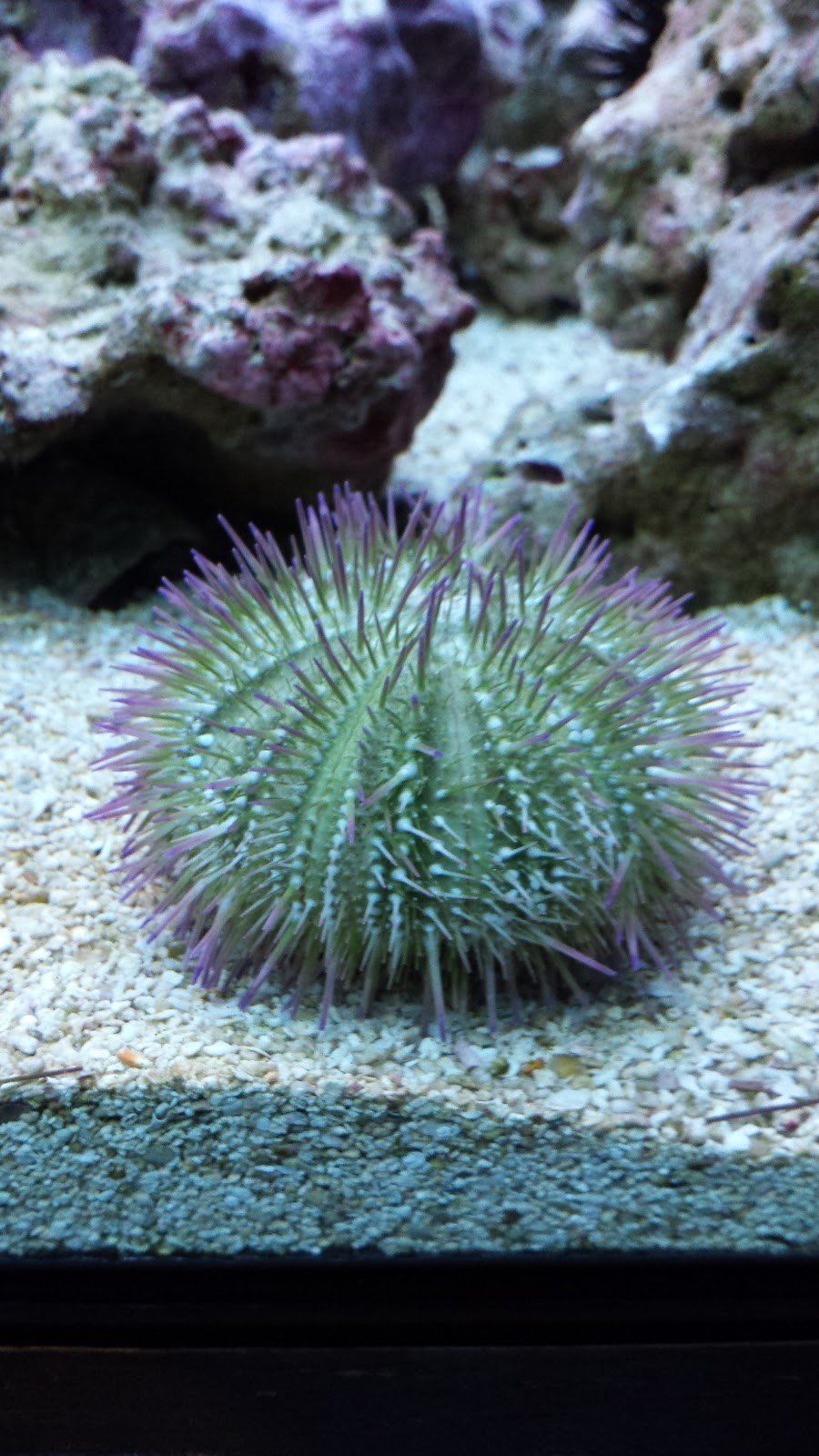 sea urchin decor.htm echinoderms part two organismal diversity  echinoderms part two organismal diversity