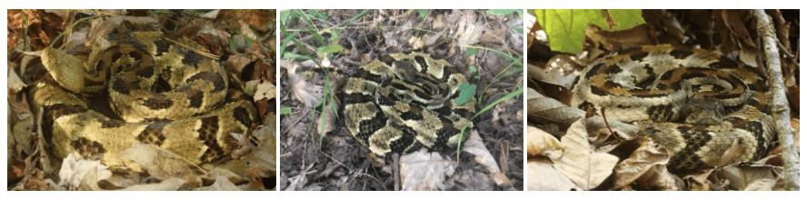 timber rattlesnake montage