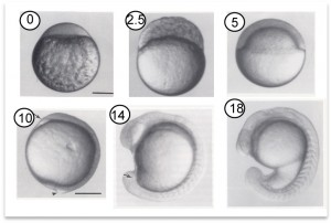 embryos development