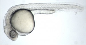 zf embryo