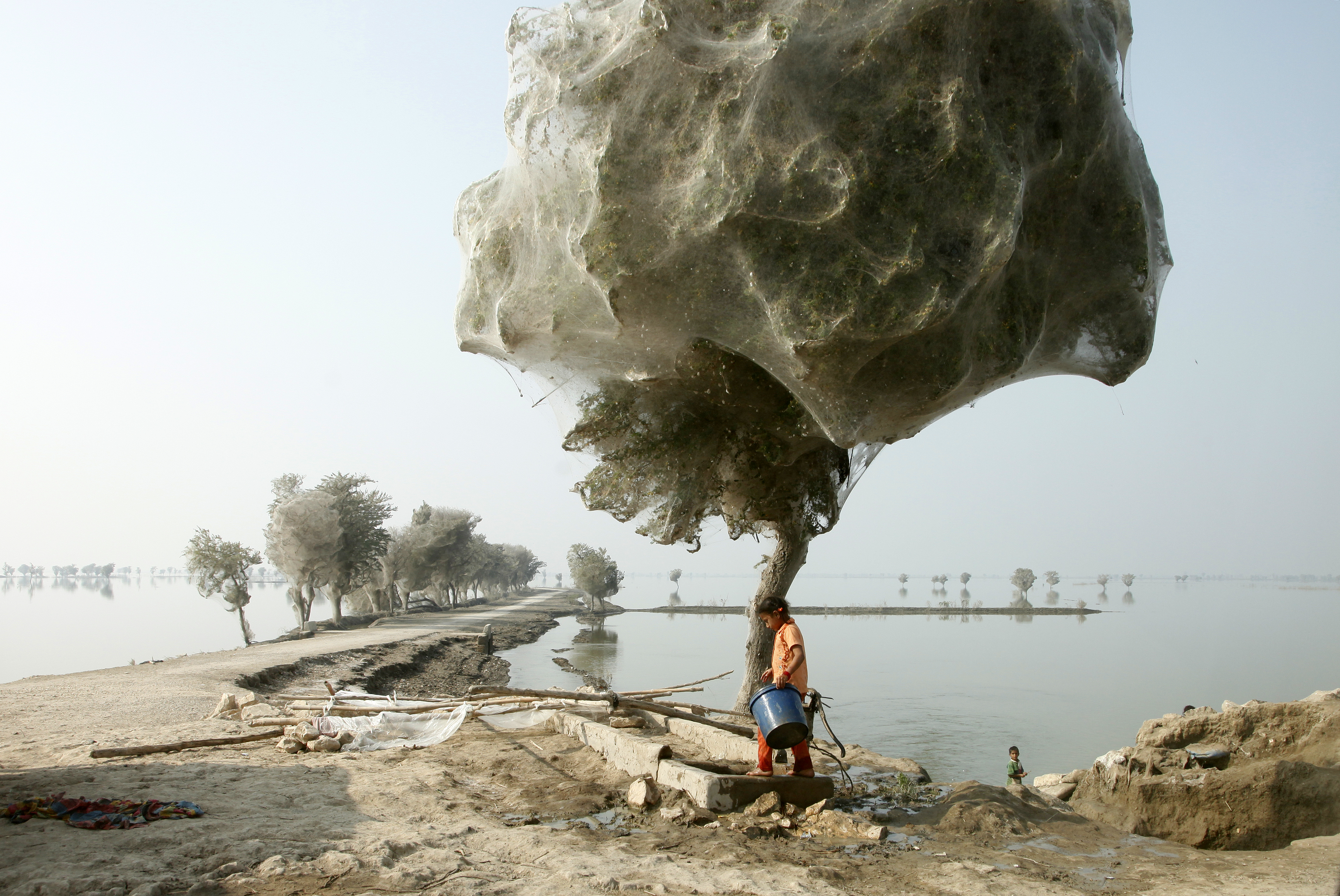 trees_cocooned_in_spiders_webs_after_flooding_in_sindh_pakistan_55711819421