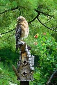 A Hawk on one of the birdhouses my Dad made