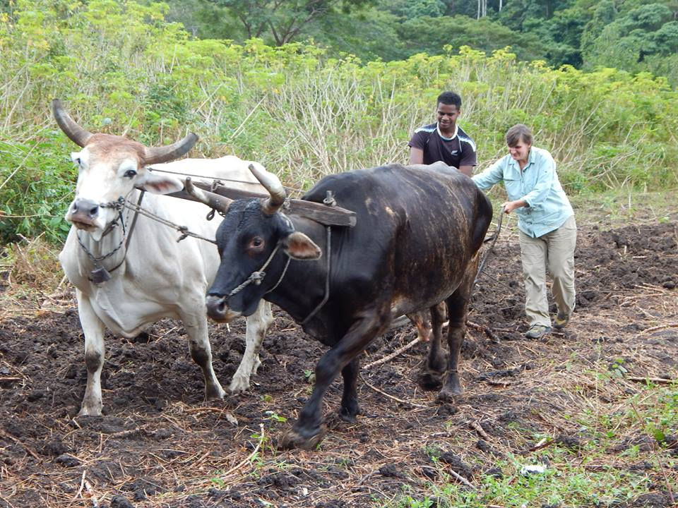Plowing with the ox-team, Qaraqara, Fiji.