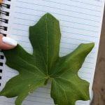 Leaf Morphology