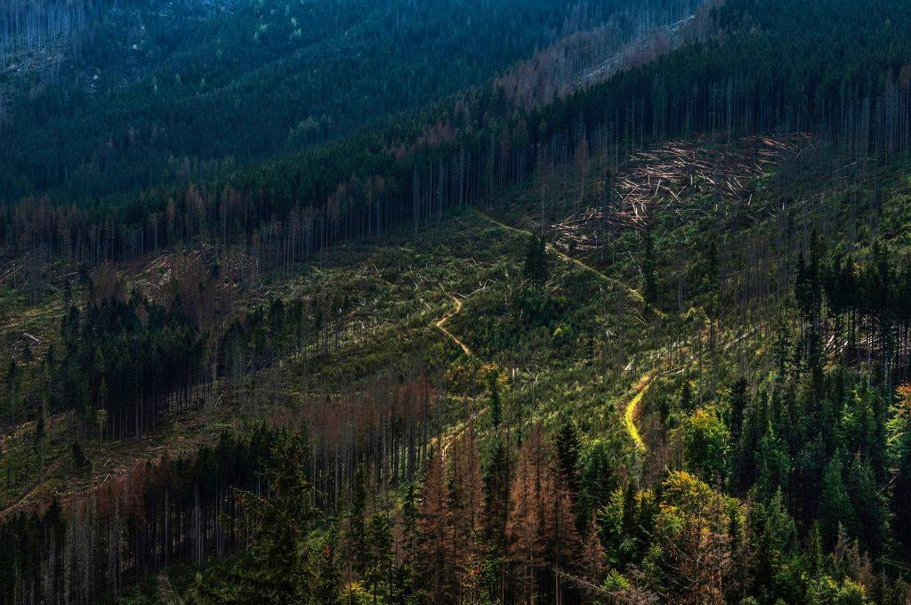 Trees in a forest cleared by deforestation