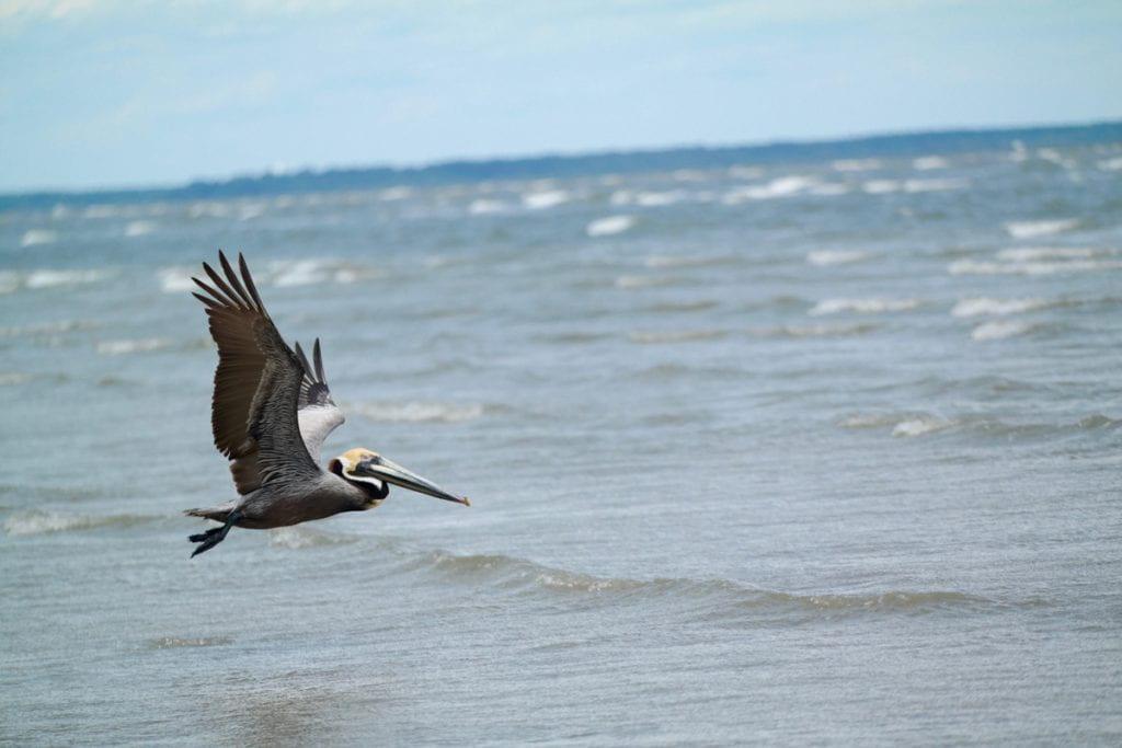 Pelican flying over water
