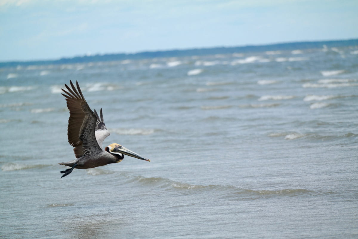 Pelican flying over water