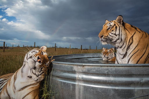 Tigers Lounging and Bathing in an open field by Steve Winter.
