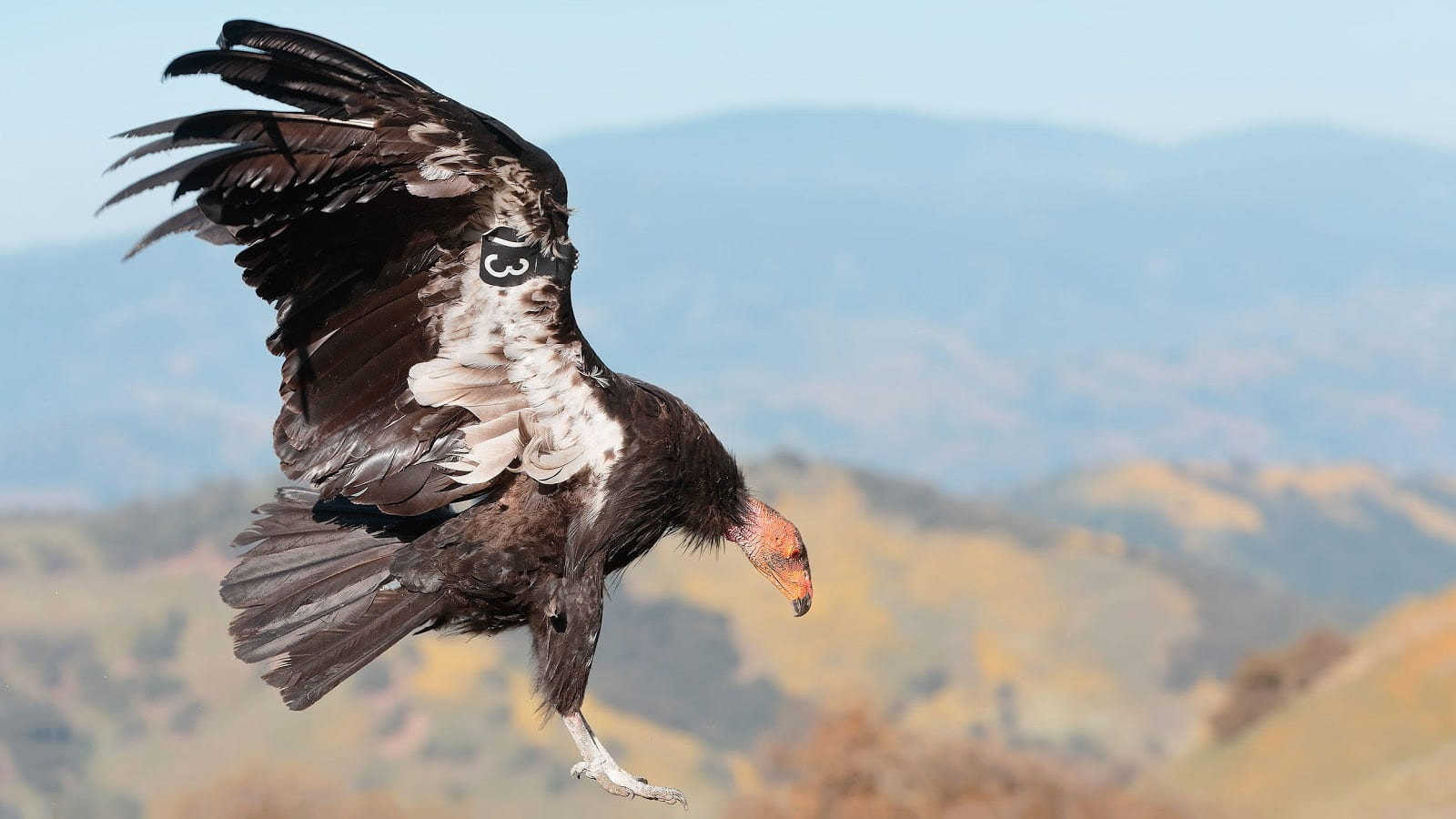 Adult California Condor photographed by Loi Nguyen.