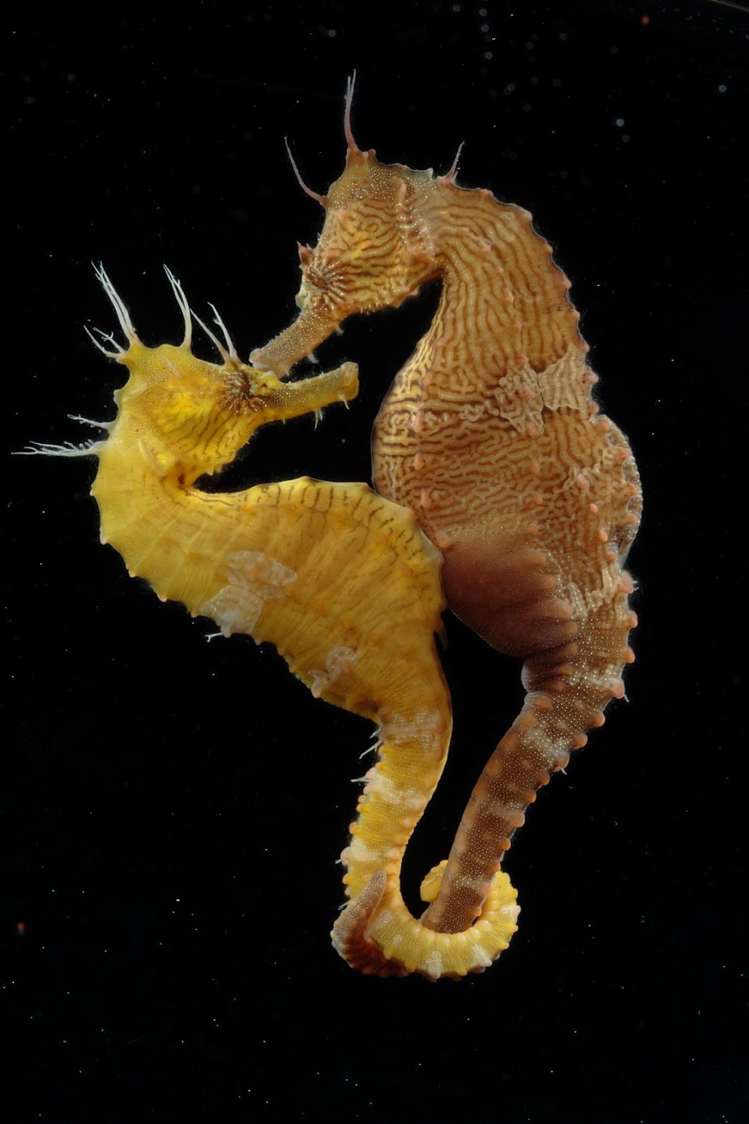 Two seahorses with their tails wrapped around each other.